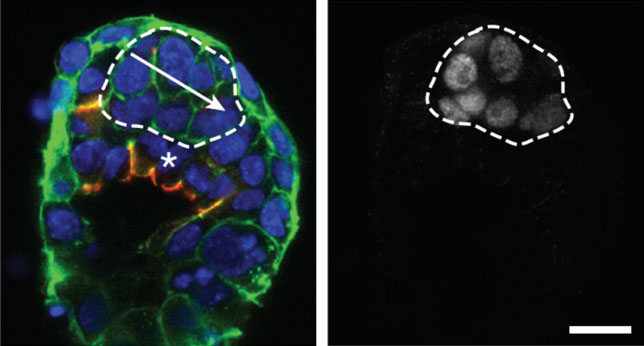 Immunostaining of the early mouse embryo shows the beginnings of polarization (arrow) and lumen formation (dashed area), two key steps in development.  Also shown is variable expression of gene Nanog (right) which contributes to these events.  Our goal is to define the mechanisms by which variation arises and its role in cancer.  Image reproduced with permission from Shahbazi et al, Nature 2017.